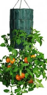 Upside Down Tomato Planter by Growing Hanging Tomatoes Is Easy
