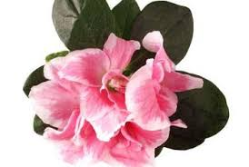 which azalea plants are for indoors and outdoors home guides