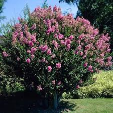 the 25 best small ornamental trees ideas on