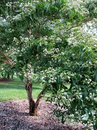 choosing zone 3 ornamental trees learn about hardy