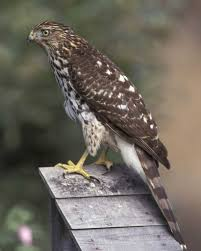 cooper u0027s hawk audubon field guide