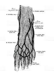 Foot Anatomy Nerves Human Anatomy Scientific Illustrations Foot Nerves Stock Vector