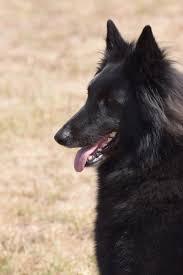 belgian sheepdog breeders indiana z kovárny groenendael tervueren malinois news 2016