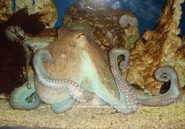 cephalopod intelligence wikipedia