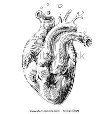 illustration sketch human heart hand drawn stock vector 535648855