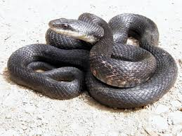 Found A Snake In My Backyard How To Keep Snakes Away From Your Home In Oklahoma