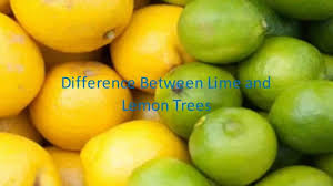 When Does A Lemon Tree Produce Fruit - difference between lime and lemon trees youtube