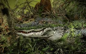 animals snake alligators wallpaper and background