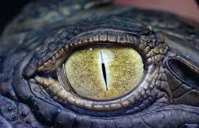 alligator eye background wallpaper desktop images download hd free