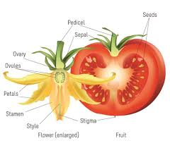 style flower tomatosphere tomatosphère the life cycle of a tomato plant