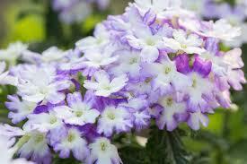 verbena flower how to care for verbena flowers hunker