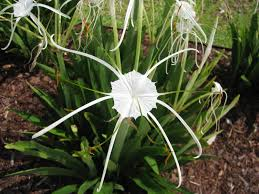 louisiana native plants hymenocallis liriosme white spider lily at a medical office
