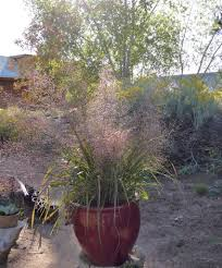 how to plant native grasses grasses u2013 plants of the southwest