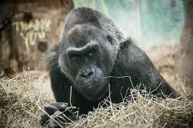 Gorilla by Remembering Colo The Gorilla