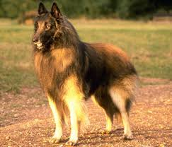 belgian sheepdog epilepsy belgian tervuren one of four varieties of belgian shepherd dogs
