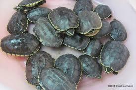 malayan snail eating turtle reptiles and amphibians of bangkok