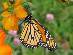 watchable wildlife monarch butterfly nys dept of environmental