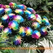 aliexpress com buy rainbow chrysanthemum flower seeds 100 seeds