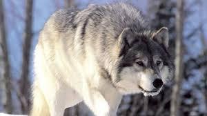 imagenes de fondo de pantalla lobos fondos de pantalla animales salvajes wallpapers hd