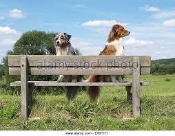 australian shepherd jumping fence dog australian shepherd aussie two stock photos u0026 dog australian