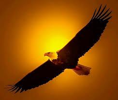 479 best bald eagle images on bald eagles beautiful
