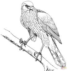 coloring page hawk coloring pages coopers page hawk coloring