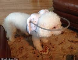 Halo For Blind Dogs Blind Dogs Are Given New Lease Of Life With A U0027halo U0027 Daily Mail