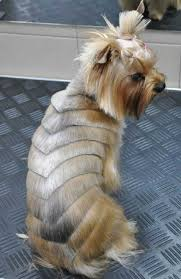 silky terrier with haircut the 25 best yorkshire terrier haircut ideas on pinterest yorkie