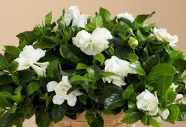 Gardenia Flower The Secret Histories Of The Meanings Behind Flowers Proflowers Blog