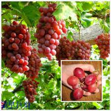 popular indoor vine plants buy cheap indoor vine plants lots from
