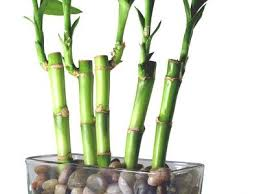 Home Decorating Plants Bamboo Plants Decorate Your Home The Asian Way Besthomecareguide Com