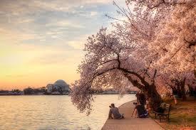 National Cherry Blossom Festival by National Cherry Blossom Festival The Cultivated Mind