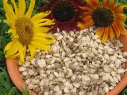 how to grow sunflowers how tos diy