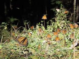 saving the monarch butterfly or saving the pulitzer center