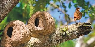 8 incredible bird nests from around the world birdlife