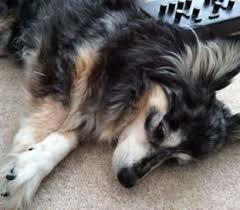australian shepherd 60 minutes veterinary alternative care