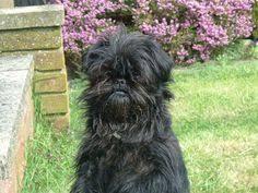 affenpinscher near me affenpinscher doris dog dog breeds and animal