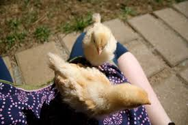 how to tame chickens from the start backyard chickens