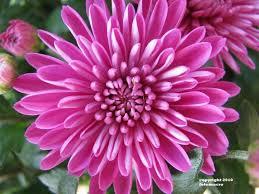 november flowers november birth flower jpg 720 540 tattoos pinterest tattoo