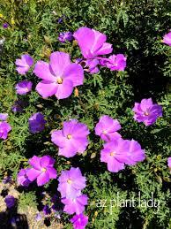 Fuss Free Purple Flowering Beauty Ramblings From A Desert Garden