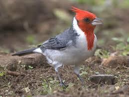 brazilian cardinal buy dead birds for taxidermy