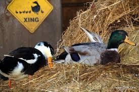 abnormal duck wing timber creek farm