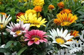 african native plants tips for growing gazanias information about gazania plant care