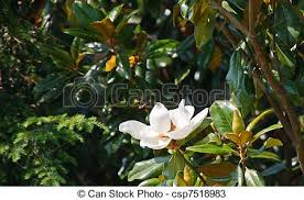 Trees With White Flowers Stock Photos Of Magnolia Tree With White Blossom A White