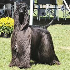 afghan hound weight afghan hound u0027araina u0027 wins best of breed at world congress