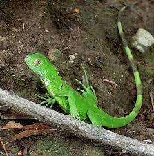 imágenes de iguanas verdes te contamos cómo es la reproducción de las iguanas curiosidades