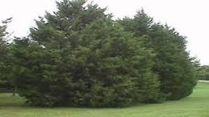 cedar trees for sale 2 50 at tn tree nursery