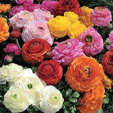ranunculus flower magic mix ranunculus flower seeds