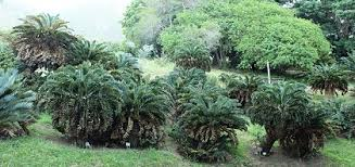Kirstenbosch National Botanical Garden Cycads Plant Sale At Kirstenbosch National Botanical Garden Sanbi