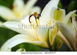 White Trumpet Flower - u0026quot white trumpet lily u0026quot stock images royalty free images